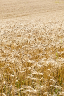 Gluten, found in wheat and other grains, could be a factor in your geographic tongue problem